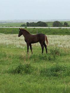 2016 Morgan Filly  CFR Annie Oakley  www.coyoteflatranch.com Saskatchewan Canada, Annie Oakley, Morgan Horse, Dressage, Westerns, Ranch, Horses, Flat, Animals