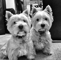 An Exquisite Paradox Scottie Dog, Westie Dog, Allergic To Dogs, White Puppies, Terrier Breeds, West Highland White, West Highland Terrier, White Terrier, Love Pet