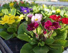 Alla blir glada av att se primulans vackra blommor.. Ja helt enkelt piggelin i hela kroppen och när den blommar vet du att våren är här. Vi odlar primulan i våra växthus och i veckans erbjudande har vi mycket bra pris. Vi delar med oss av våren!