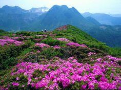 Baili Rhododendron