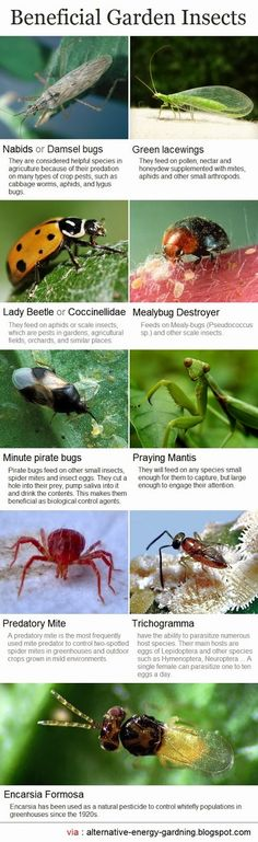 Beneficial Garden Insects - Predators hunt, attack, and kill their prey. Encourage these natural enemies by avoiding pesticides that kill them; choosing plants that provide them pollen, nectar, and shelter; and keeping ants out of pest infested plants. Garden Bugs, Garden Insects, Garden Pests, Horticulture, Organic Gardening, Gardening Tips, Beneficial Insects, Dream Garden, Garden Projects