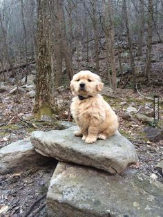 Here is one majestic Golden Retriever forest puppy, perched on a pile of rocks. - 9GAG