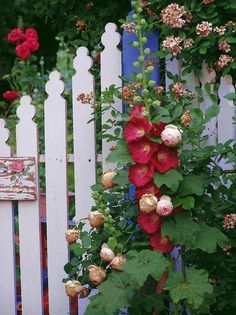 Hollyhocks, roses, and a white picket fence!