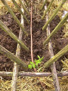 Le blog du Jardinier du Prieuré d'Orsan: framboisier
