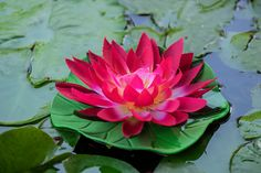 Close up of lotus flower floating in still pond