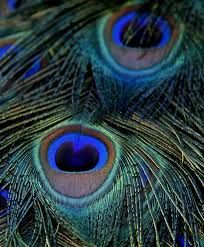 peacocks -