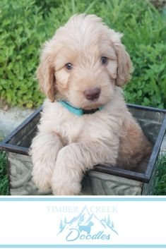 Mini Goldendoodles and Mini Bernedoodles in Utah by Timber Creek Doodles. Close to Salt Lake City, Colorado, Wyoming, we sell our puppies nationwide. Dog Pictures, Animal Pictures, Animals And Pets, Cute Animals, Mini Doodle, Group Of Dogs, Goldendoodles, Dog Boarding, My Animal