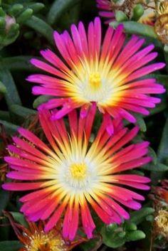 Delosperma Wheels of Wonder™ 'Hot Pink'