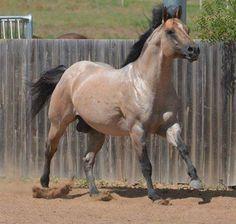 Snips Olympic Gold, Running Horse Stalls, Horse Barns, Barrel Racing Horses, Barrel Horses For Sale, Quarter Horses For Sale, Reining Horses, Horse Saddles, Western Saddles, Western Riding