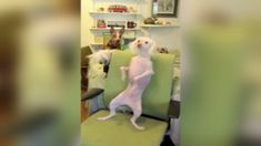 Nathan, a Chinese Crested-Hairless, loves to show off his moves in his chair. He was taken in by Bald is Beautiful Hairless and Small Breed Rescue in Greenville, South Carolina, and has since been adopted.
