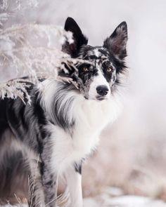 10 Olgaissibri Border Collie Olga Is Ideas Border Collie Puppies, Collie Dog, Pretty Animals, Cute Baby Animals, Beautiful Dogs, Animals Beautiful, Beautiful Dog Pictures, Cute Dogs And Puppies, Jolie Photo