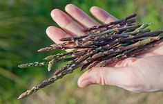 Wild food foraging: Asparagus, bulrush and more!