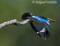 Woodlands Kingfisher | A community of wildlife photographers to share their photographs, experiences and follow other wildlife photographers.