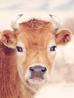 Cows have such beauty in their faces.