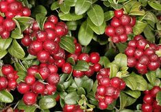 A MAGYAROK TUDÁSA: Gyógyító növényeink 1./b rész Fruit Trees, Cherry, Vegetables, Alternative, Veggies, Vegetable Recipes, Prunus, Cherries