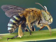 PHOTOS. Fascinants insectes Une abeille. (Yudy Sauw/Solent News/SIPA)