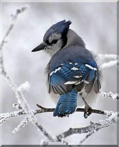 Blue Jay (?) In Winter