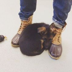 GSD Puppy-Luna #germanshepherdpuppy