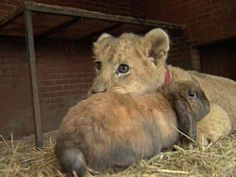 Dog And Rabbit Are Lion Cub's Best Friend