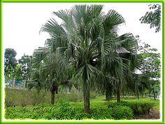 """""""chinese fan palm"""" - Google Search"""