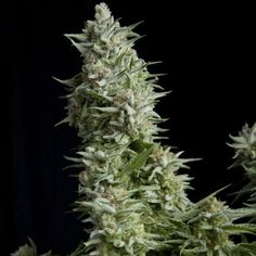 marijuana strain for growing weed yourself. Indoor marijuana growing and outdoor marijuana growing or greenhouse marijuana growing. Harvesting big buds is the result of this cannabis plant. Growing Marijuana Indoor, Growing Weed, Marijuana Plants, Cannabis Growing, Cannabis Plant, Grow Room, Seeds For Sale, Herb Pots, Growing Vegetables
