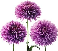 Blue bell colorful Decorative Dahlia - Google Search