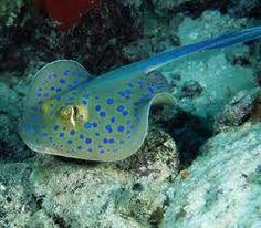 Blue spotted stingray die ik veel gezien heb ik Egypte/Safaga