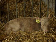 Sairas vasikka tarvitsee hyvin kuivitetun, vedottoman karsinan.