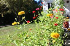 Colorful zinnias - my garden