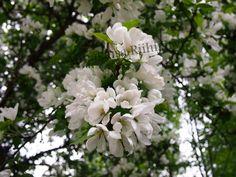 Kukkiva omenapuu.