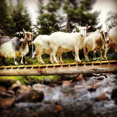 Need some of the milk from these goats to make my brown cheese.The troll under the bridge was on vacation.