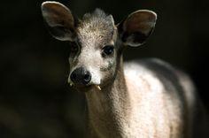 A western tufted deer
