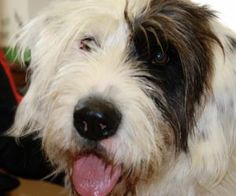 Cooper is an adoptable Old English Sheepdog Dog in Uniontown, PA. Cooper is a very friendly young Old English Sheepdog-Coonhound mix. She is very sweet and energetic. Cooper will be ready for her fore...