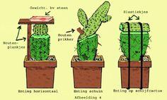 Stekken van cactussen is de eenvoudigste manier om cactussen te vermeerderen. De maanden mei, juni, juli en begin augustus is de beste tijd om cactussen te stekken. Veel soorten cactussen vormen zijscheuten, deze kan men met een scherp mes afsnijden, laat de afgesneden zijscheuten bij mooi weer minimaal een week drogen in de schaduw. Mini Cactus Garden, Cactus Farm, Cactus House Plants, Rock Garden Plants, Succulent Gardening, Cacti And Succulents, Planting Succulents, Succulent Care, Propagating Cactus