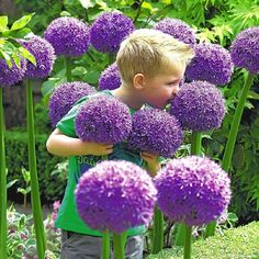 The majestic Gladiator allium is a fall planted flower bulb that blooms from late spring into early summer.Like all alliums, Gladiator is best planted in clumps of 10 or more bulbs to create a stunning and unusual effect in the late spring garden.Gladiator alliums will produce sweet-scented globe-like flowers of up to 6 inches in diameter.Also, due to its impressive size and color, the Gladiator allium is excellent for either cut flower or dried flower arrangements.