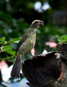 Foto trinca-ferro-verdadeiro (Saltator similis) por Elisa Torricelli  Passaros Silvestres cdc3dc7d7c4