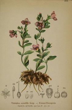 3 - Atlas der Alpenflora / - Biodiversity Heritage Library