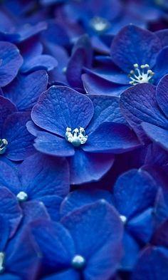 Blue Hydrangea  http://www.arcreactions.com/calgary-marketing-blog/