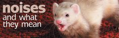 Ferret Vocalizations: Noises and What they Mean https://www.pinterest.com/pin/461056080575705212/