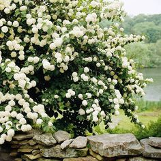Snowball viburnum - flowering hedge, requires full sun/partial shade, stands 3-15 ft tall and 3-12 feet wide.  Perfect for backyard privacy! :) #gardenshrubsideas