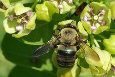 Eastern Carpenter Bee on milkweed (Xylocopa virginica).