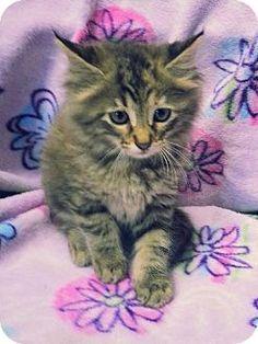 Prattville, AL - Domestic Mediumhair. Meet Krystal 19308 a Kitten for Adoption.