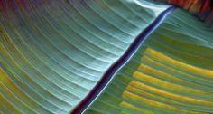 Detail of a banana leaf, Mainau Island, Germany (© Egon Bömsch /Age footstock)(Bing United Kingdom)