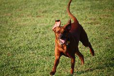 redbone coonhound photo | REDBONE COONHOUND | REDBONE COONHOUND