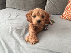 Best puppy ever. Our mini goldendoodle Ruby at 9 weeks old.