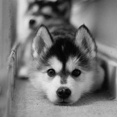 Husky's tho.... So beautiful