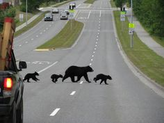 black bears crossing an Anchorage Alaska street... Just another normal day in the neighborhood!