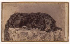 RARE CDV Photo Setter Dog Sleeping in Studio 1890s Seely Rowley E Rockford IL | eBay