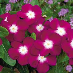 Pacifica Burgundy Halo Vinca - The renowned Vinca Pacifica Halo series is now available in a single color with the same big, early blooms on heat-tolerant plants!AAS 2007 Winner Vinca 'Pacifica Burgundy Halo' seeds at Park SeedHow To Start Organic Ga Periwinkle Flowers, Black Flowers, Big Flowers, Pink Roses, Beautiful Flowers, Periwinkle Plant, Strange Flowers, Tiny Eye, Bright Purple