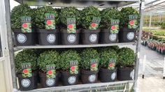 Ilex crenata dark green ball, a true replacement for brown buxus plants
